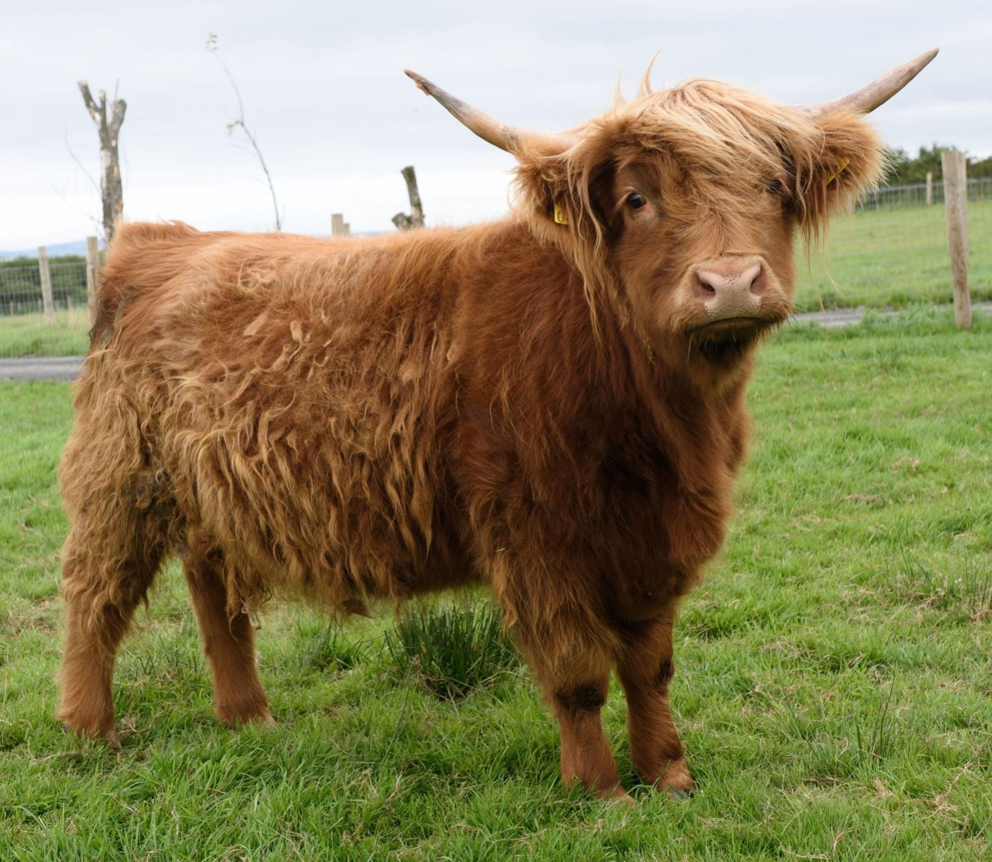 Sandy Feet Farm Cow