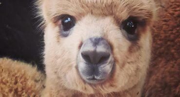 Sandy Feet Farm Alpaca